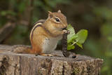 Portrait of an Eastern Chipmunk  Tamias Striatus  Eating a Caterpillar