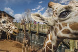 Cheyenne Mountain Zoo  Home to North America's Largest Captive Herd of Reticulated Giraffes
