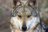 Close Up Portrait of a Captive Mexican Gray Wolf  Canis Lupus Baileyi