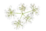 An Allium Flower
