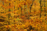 Fall Foliage in a Forest Near Cambridge  New York