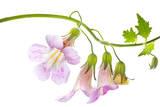 Chinese Foxglove Flowers