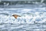 A Sandpiper Flies over Coastal Surf