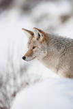 Profile Portrait of an Alert Coyote Standing in Snow