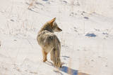 A Coyote Stands in a Snowy  Sunlit  Landscape