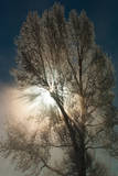 An Abstract View of a Cottonwood Tree and Misty Sunlight at Mammoth Hot Springs