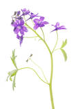 Larkspur Flowers