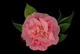 Close Up of a Pink Debutante Camellia Flower  Camellia Japonica