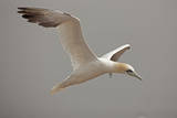 Portrait of a Northern Gannet  Sula Bassanus  in Flight