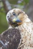 An Endemic Galapagos Hawk at Playa Espumilla on Santiago Island in Galapagos National Park