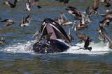 A Feeding Humpback Whale  Megaptera Novaengliae  Surfaces Among Brown Pelicans