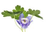 A Columbine Flower