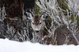 Portrait of a Mule Deer  Odocoileus Hemionus  in a Snowy Landscape