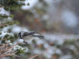 A Black-Capped Chickadee  Poecile Atricapillus  in Rocky Mountain National Park