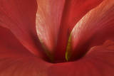 An Amaryllis Flower