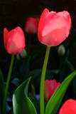 A Close Up of Red Tulips at the Chicago Botanic Garden in Chicago  Illinois