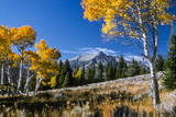 Vibrant Yellow Foliage on Aspen Trees and Electric Peak in the Background
