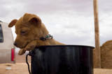 A Puppy Is Kept Safe in a Cooking Pot on a Native American Reservation