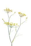Golden Fennel Flowers