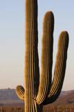 A Saguaro Cactus  Carnegiea Gigantea  in Warm Desert Sunlight at Sunset