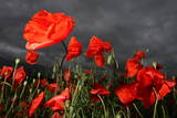 Red Corn Poppy Gleams under Dark Rain Clouds Near Endigen
