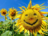 The Picture Shows 'Smiling' Sunflowers on a Field at Zielitz  Germany