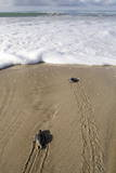 Sea Turtle Hatchlings Make their Way to the Sea