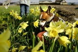Dog Playing with Ball in Daffodils