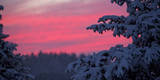The Crimson Red Sky Is Pictured Through Snow-Covered Foliage