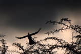A Grey Tauraco Taking Off from a Thorn Tree During a Rainstorm in Johannesburg  South Africa