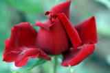A Rose Is Seen at a Plantation in Quito