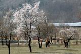Spring Arrives in Indian Kashmir