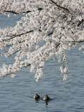 Ducks Swim under Cherry Blossoms