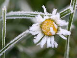 A Daisy Is Covered with Hoar Frost in Vluyn