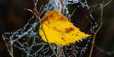 View of a Yellow Birch Leaf in a Spider's Web with Water Droplets