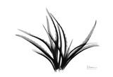 Spider Aloe