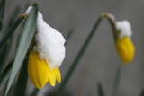 Early Spring Flowers Wear a Coat of Snow