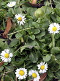 Daisies on January in Wroclaw