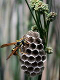 A Hornet Inspects a Honeycomb