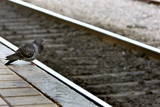A Pigeon Sits by the Empty Rail at the Main Railway Station in Athens
