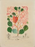 Anarcardium Recordans (Begonia  Le Coeur) from Flora Dalinae