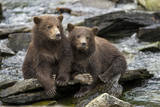 USA  Alaska  Katmai NP  Coastal Brown Bear Cubs by a salmon stream