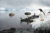 Antarctica  Cuverville Island  Gentoo Penguins standing on the shore