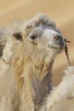 Camel in a desert convoy  Badanjilin Desert  Gansu Province  China