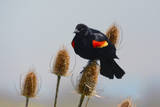 Red-winged Blackbird  Ridgefield NWR  Ridgefield  Washington  USA