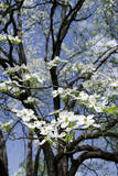 USA  Tennessee  Nashville Flowering dogwood tree at The Hermitage
