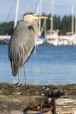 USA  Washington State  Poulsbo Great Blue Heron on marine floatation