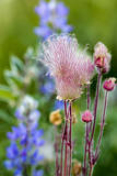 Prairie Smoke wildflowers in aspen grove in Glacier NP  Montana  USA