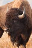 American Bison herd in Teton National Park  Wyoming  USA