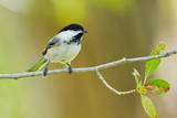 Black-capped Chickadee perched in cottonwood tree